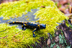 Salamander Royalty Free Stock Image