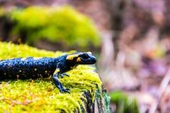 Salamander Royalty Free Stock Photos
