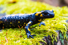 Salamander Stock Photo