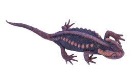 Salamander (Tylototriton verrucosus) isolate Royalty Free Stock Photography