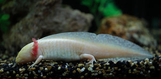 Salamanders di talpa messicani Immagini Stock