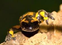 Salamanders Stock Photo