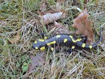 Salamandra в потоке леса Альпов Стоковые Фотографии RF