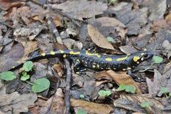 Salamandra в словенском лесе Альпов Стоковое Изображение RF
