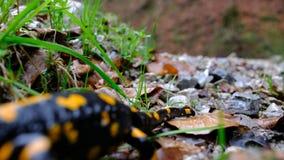 Саламандра огня, salamandra сток-видео