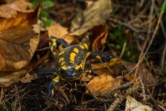 Salamandra Fotos de archivo