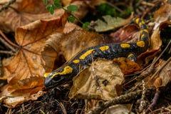 Salamandra Obraz Stock