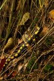 Salamandra Fotografia Stock