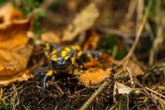Salamandra Zdjęcia Stock