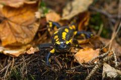 Salamandra photographie stock libre de droits
