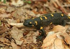 Salamandra stockfoto