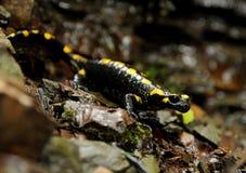Salamandra Royalty Free Stock Images