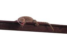 Salamandra Fotografía de archivo libre de regalías