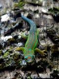 Salamandra Imagenes de archivo