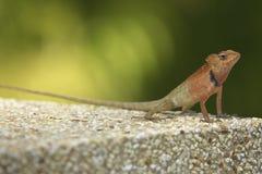 Salamandra Fotos de archivo libres de regalías