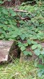 Salamandra Стоковое фото RF