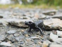 Salamandra alpina Fotografia de Stock Royalty Free