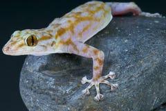 Salamandra con base de la fan/ragazzi de Ptyodactylus Fotos de archivo