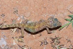 Salamandra Cortocircuito-digitada medio-oriental y x28; Doriae& x29 de Stenodactylus; fotos de archivo libres de regalías