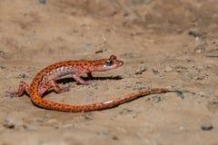 salamandra da caverna da Manchar-cauda imagem de stock royalty free