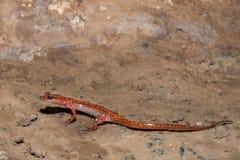 salamandra da caverna da Manchar-cauda imagens de stock royalty free
