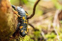 Salamandra de fogo com suas marcações amarelas imagens de stock royalty free