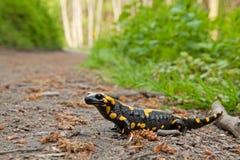 Salamandra de fogo, salamandra do salamandra, república checa imagem de stock