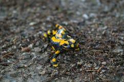 Salamandra de fogo em um dia chuvoso nas montanhas Foto de Stock
