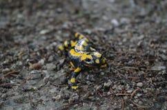 Salamandra de fogo na fuga na floresta Imagens de Stock Royalty Free
