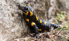 Salamandra de fuego Foto de archivo libre de regalías
