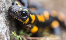 Salamandra de fuego Fotografía de archivo libre de regalías