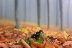 Salamandra de fuego en el bosque brumoso de la haya del otoño, animal salvaje en naturaleza Imagen de archivo libre de regalías