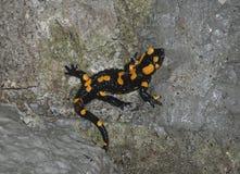 Salamandra de fuego en roca Imágenes de archivo libres de regalías