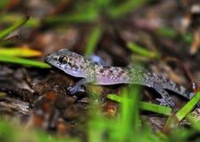 Salamandra de la casa en la hierba Foto de archivo libre de regalías