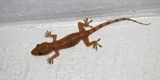 Salamandra de la casa (frenatus de Hemidactylus) Fotos de archivo libres de regalías