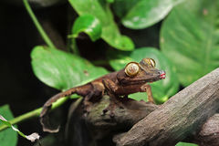 Salamandra de la hoja Imagen de archivo
