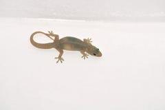 Salamandra de la pared Fotografía de archivo