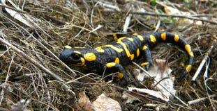 Salamandra de Salamandra Photo libre de droits
