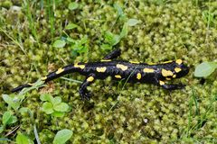 Salamandra de Salamandra de salamandre de feu dans une nature Images stock