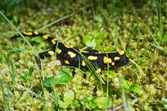 Salamandra de Salamandra de salamandre de feu dans une nature Image stock
