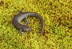 Salamandra de Streamside Imagem de Stock Royalty Free