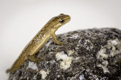Salamandra del agua Imagen de archivo libre de regalías