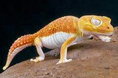 Salamandra del albino/pilbarensis de los levis de Nephrurus Fotos de archivo libres de regalías