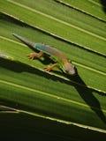 Salamandra del día de Mauricio en la hoja Imagen de archivo libre de regalías