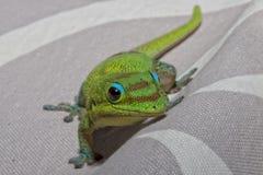 Salamandra del día del polvo de oro mientras que le mira Imagen de archivo