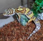 Salamandra del leopardo Imagenes de archivo