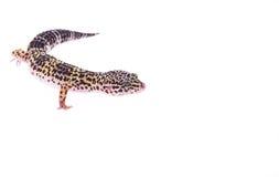 Salamandra del leopardo Imagen de archivo