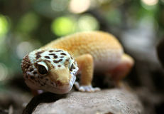 Salamandra del leopardo Foto de archivo libre de regalías