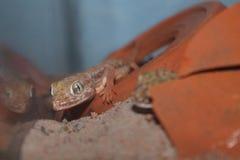 Salamandra del petrii de Stenodactylus foto de archivo libre de regalías