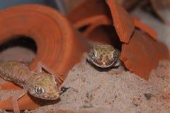 Salamandra del petrii de Stenodactylus foto de archivo